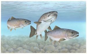 atlantic_salmon_atlantic_fish